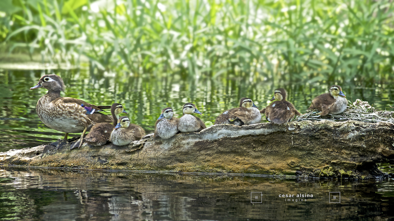Mama Wood Duck and the 7 ducklings