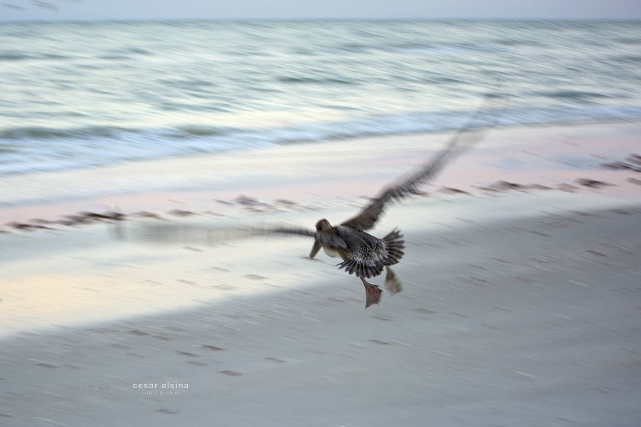 Blurred Pelican