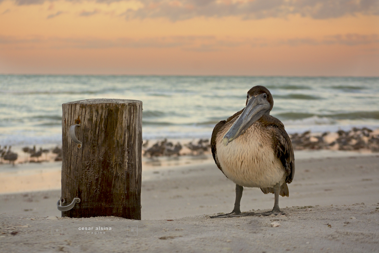 Old Pelican and Pile